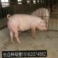 苏太母猪 纯种苏太母猪 苏太猪繁育基地